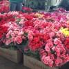 CEAGESP ontem de manhã, uma profusão de flores